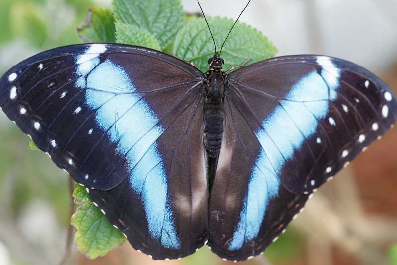 i 3MWxf3L L Daily Photo Banded Blue Morpho