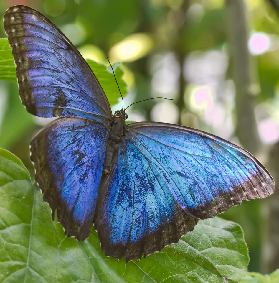 i 63GWg7N X2 The Blue Morpho Opens His Wings