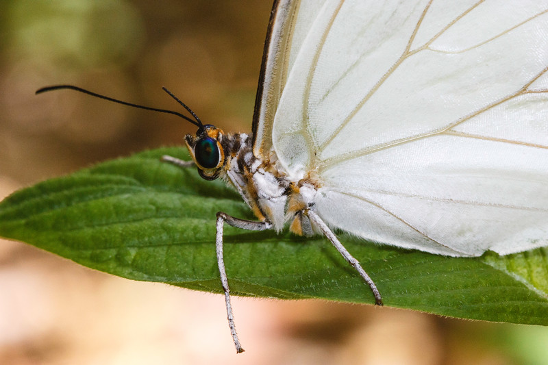 i Bm9sDNk L White Morpho Close up