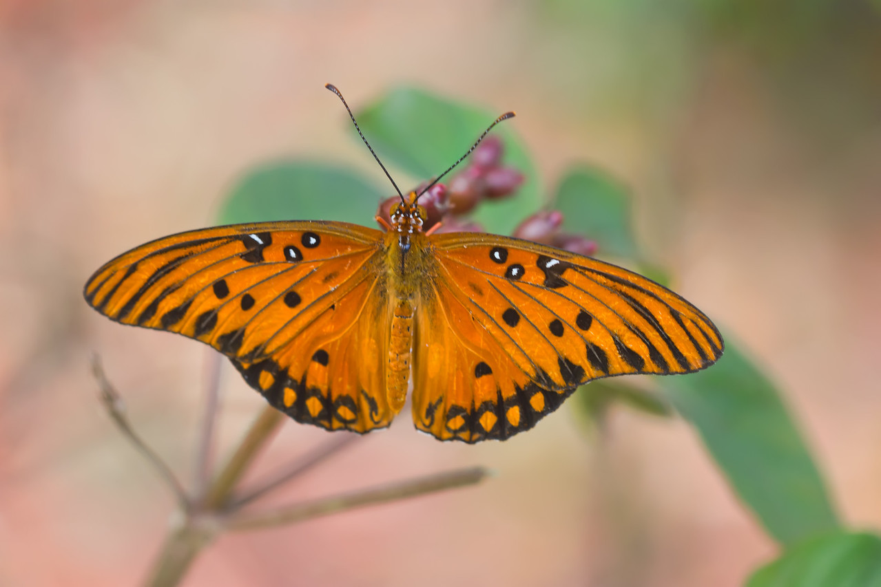 i JpcQrpg X2 Another Gulf Fritillary (a short trip)