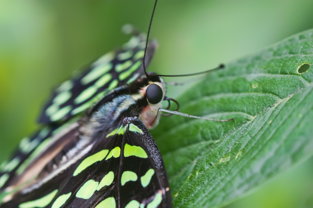i Lmv7jBr X2 The Tailed Jay