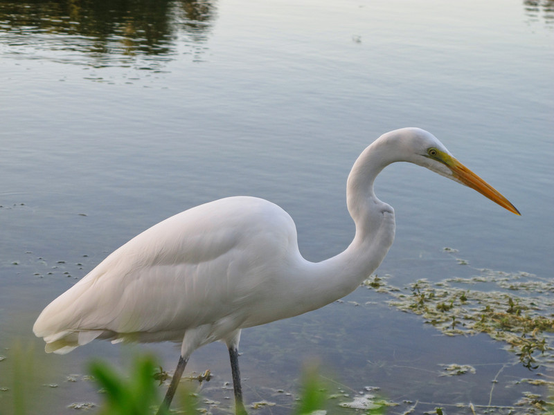 i MRfVVhF L The Great Egret