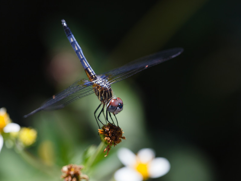 i P43mBxn L Daily Photo Blue Dasher Dragonfly