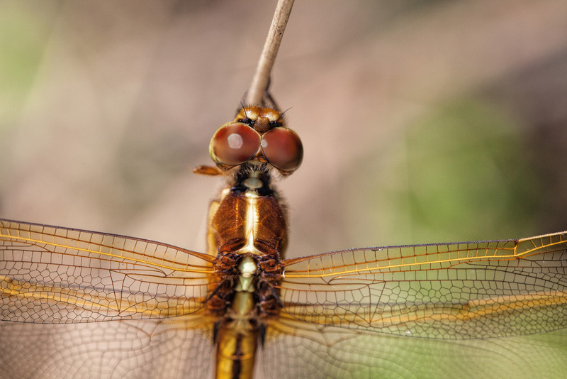 i TDjSPsF L Daily Photo Dragonfly Close Macro