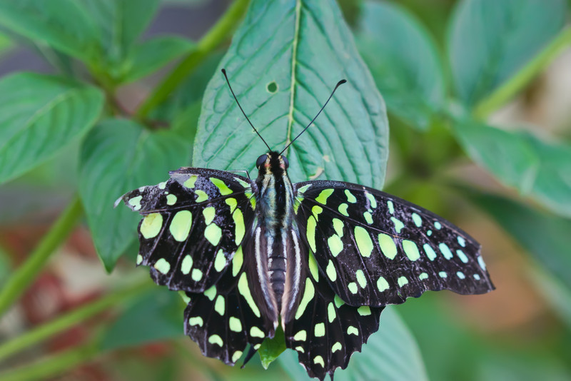 i V46C7gg X2 The Tailed Jay