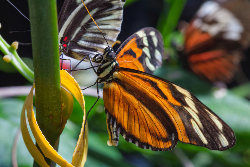 i qTKxgWB L Daily Photo Tiger Longwing and Friends